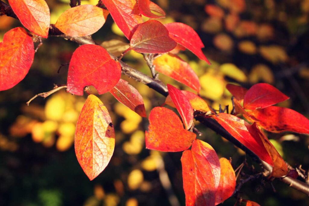 Felsenbirne mit orangen Blättern