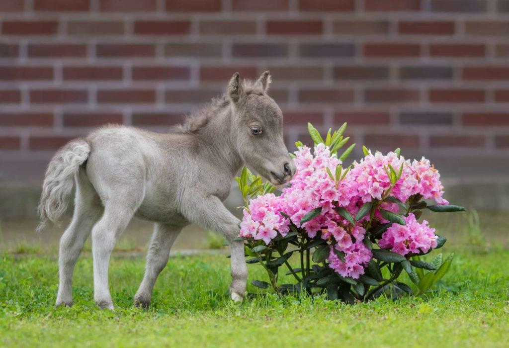 Fohlen riecht an Rhododendron im Garten