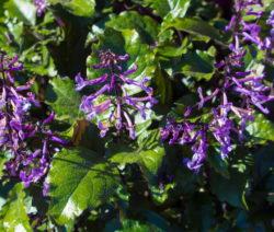 Fuchsie Fliederblüte Lila