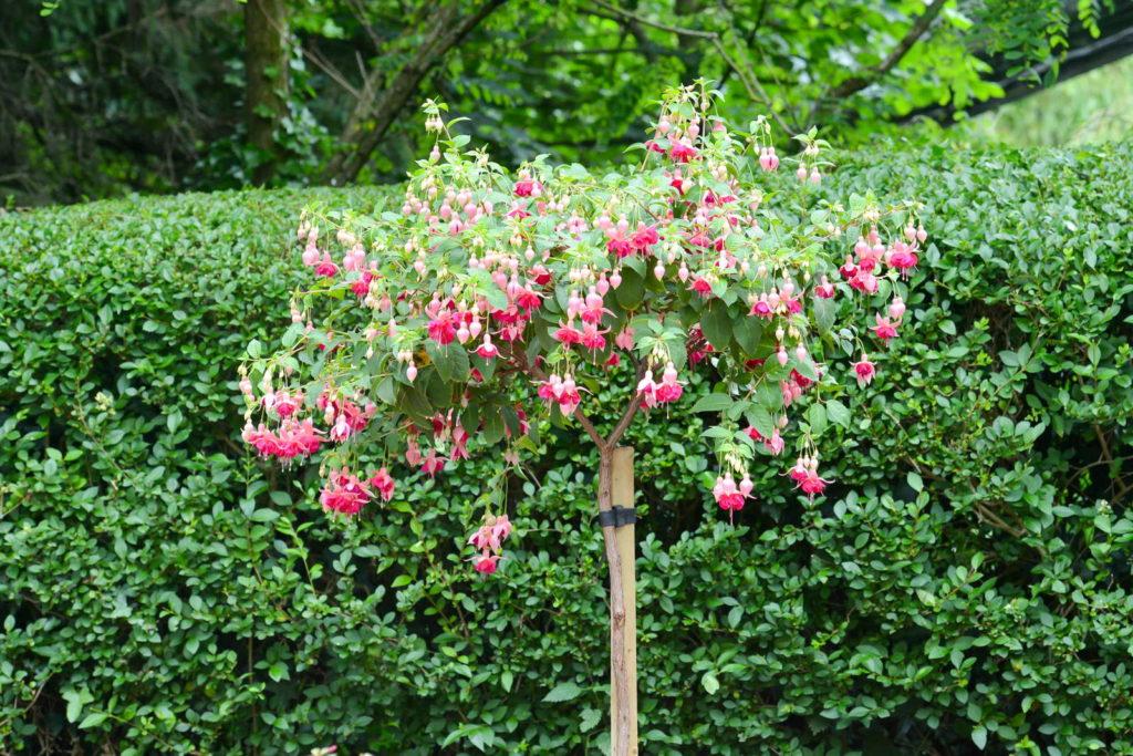 Fuchsie Hochstamm im Garten mit grünem Hintergrund