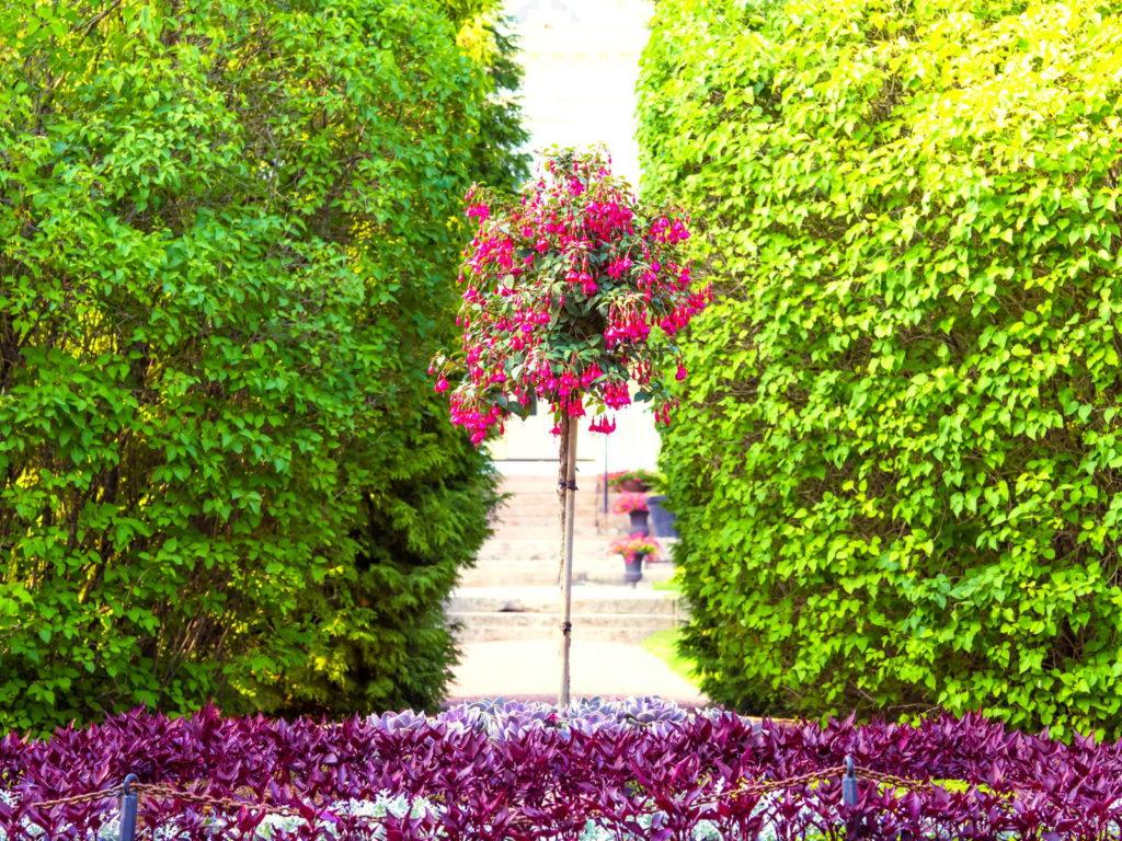 rosa Fuchsie Hochstamm im Garten mit grüner Hecke im Hintergrund