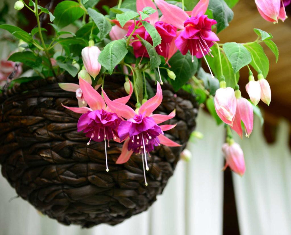 Fuchsie rosa in braunem Hängetopf