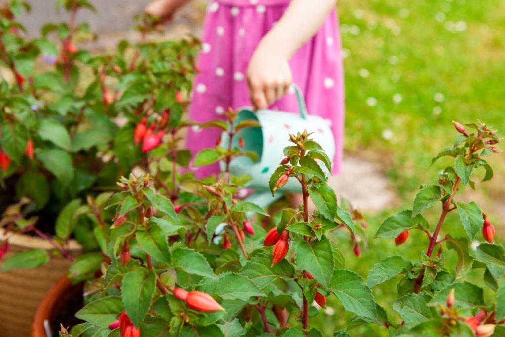 Fuchsien rot im eigenen Garten