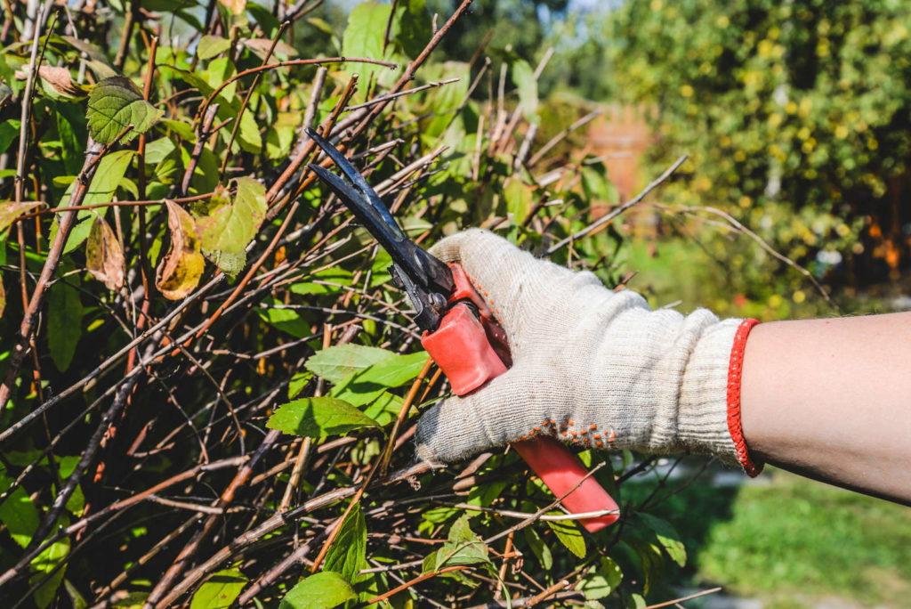 Gartenschere zwickt Äste einer Hecke ab
