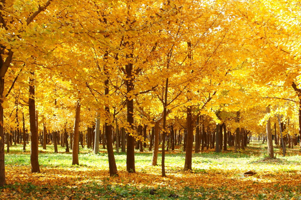 gelbe Ginkgobäume im Herbst