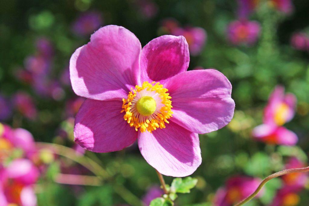rosa Herbst-Anemone im Garten bei Sonnenschein