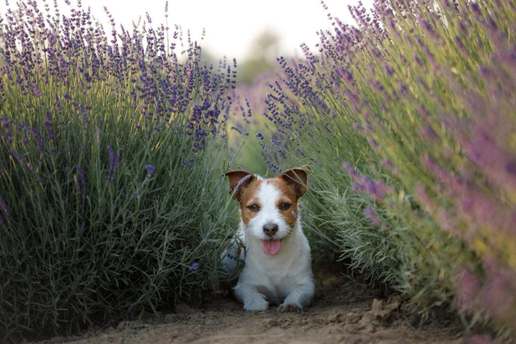 Hund liegt im Lavendelfeld