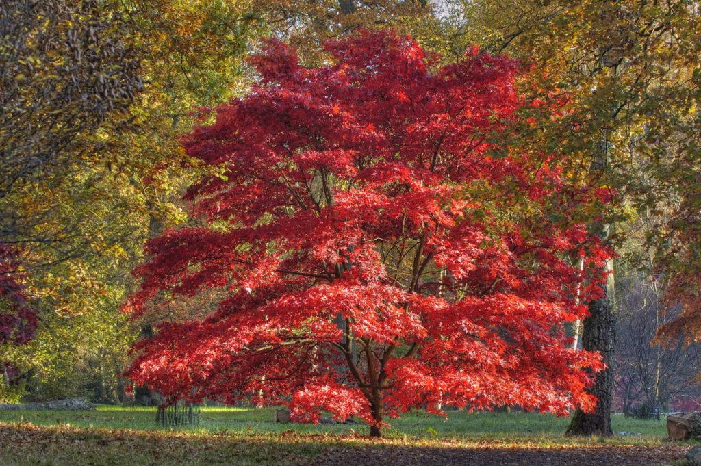 Japanischer Ahorn im Herbst mit roten Blättern