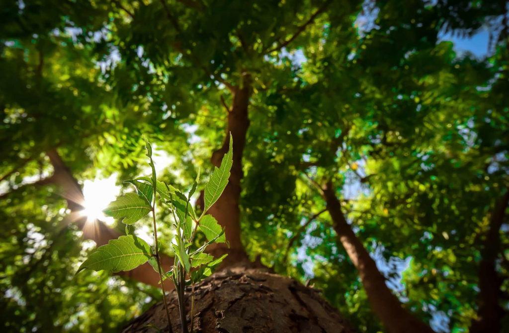 Junge Blätter wachsen an Neem Baum