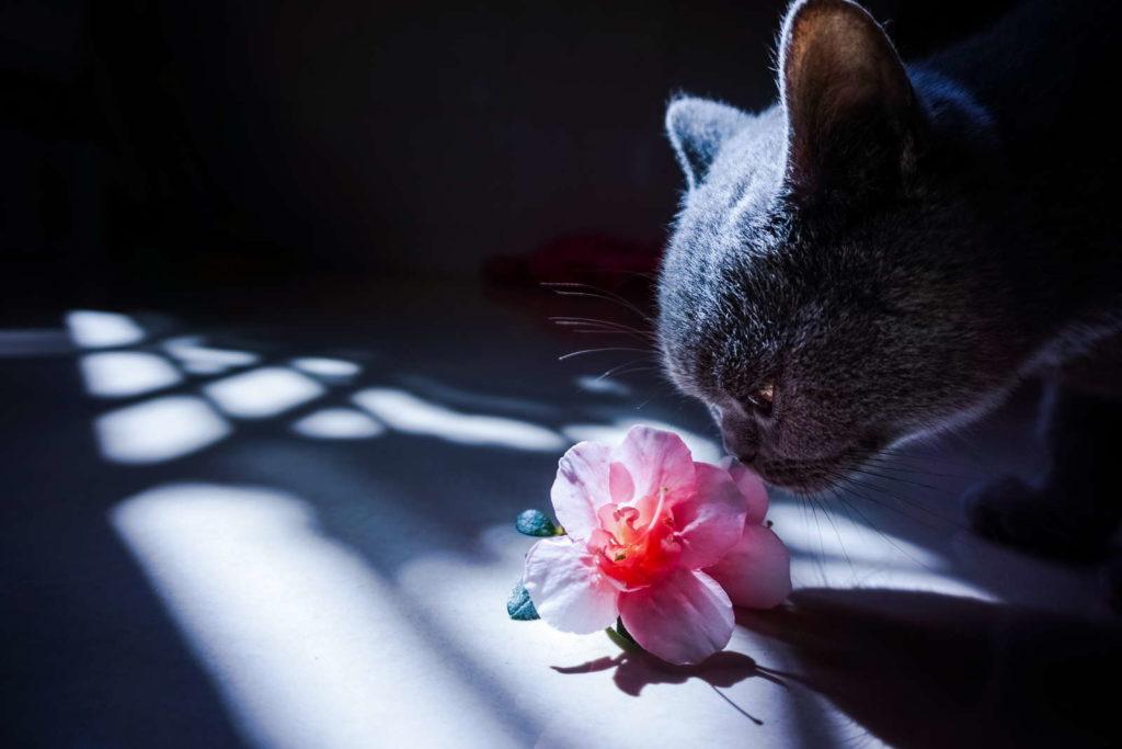 Katze riecht an Azalee Blüte
