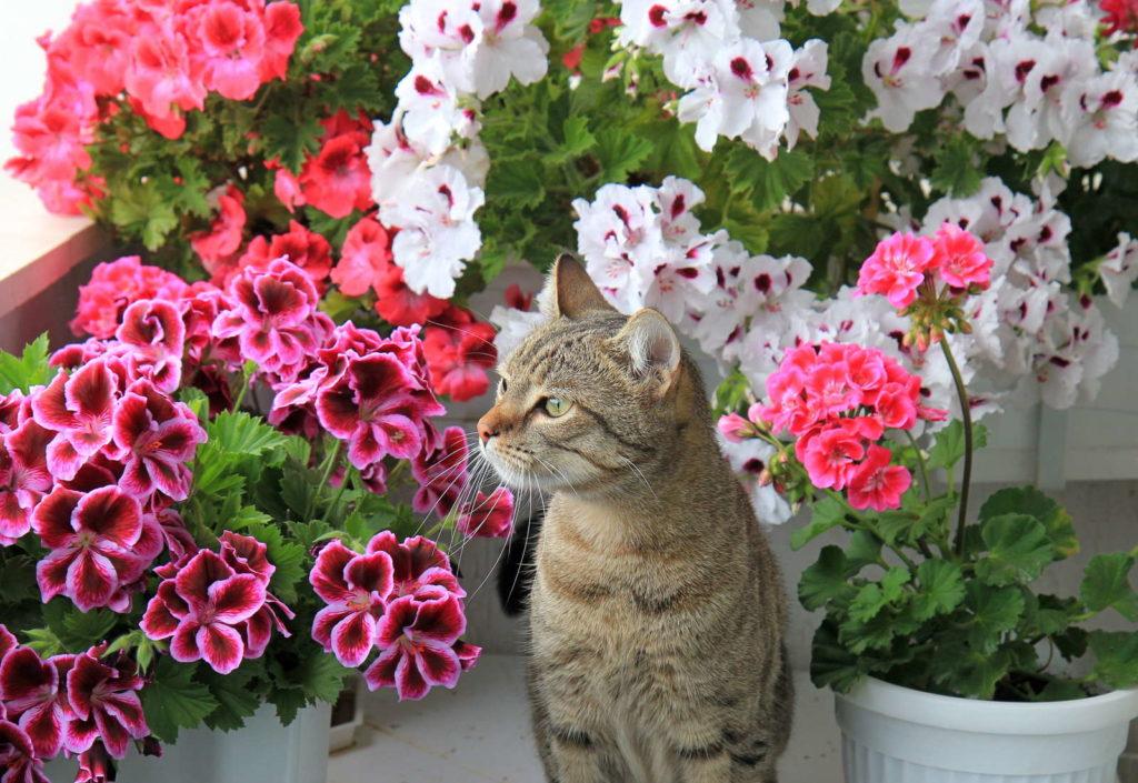 Katze sitzt zwischen Geranien auf Balkon