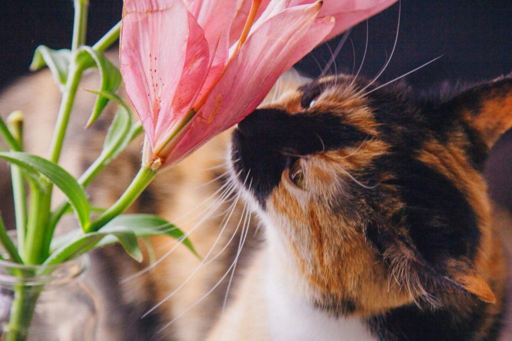 Katze riecht an Lilie