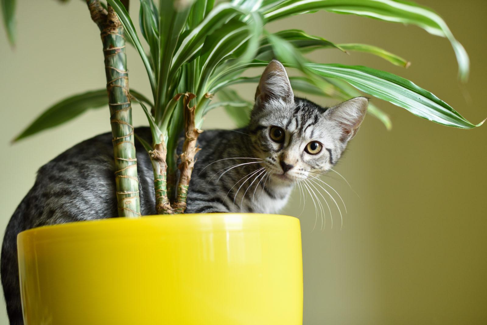 lavendel giftig für katzen