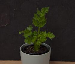 Stangensellerie Regrow In Topf Umgepflanzt