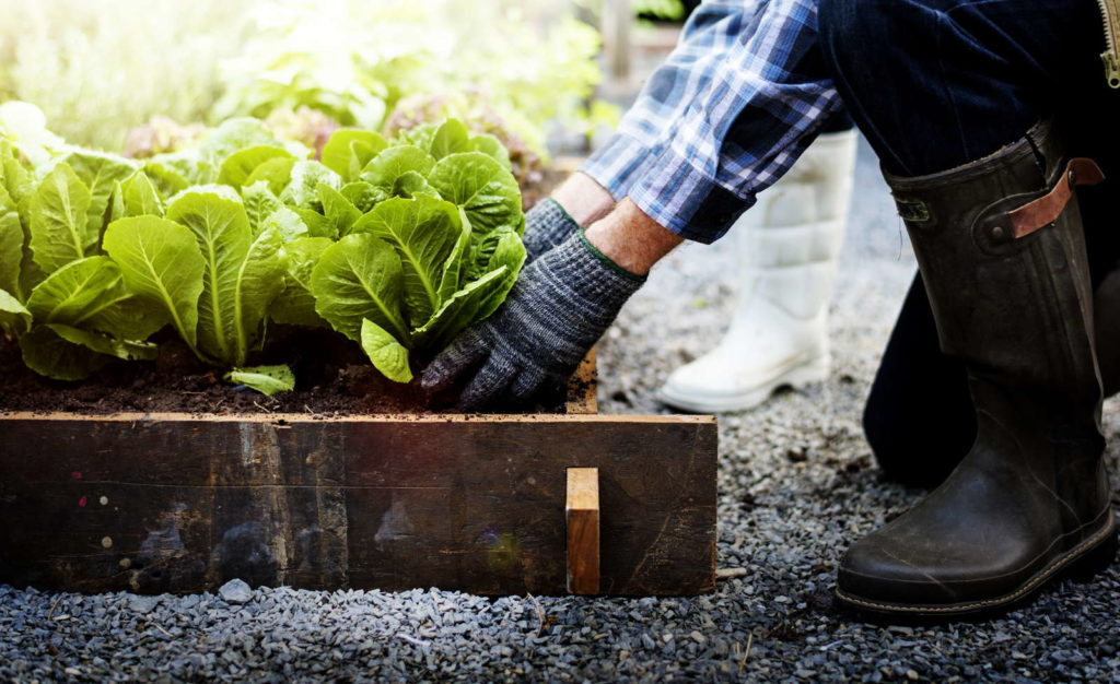 Mann pflanzt Salat in Beet
