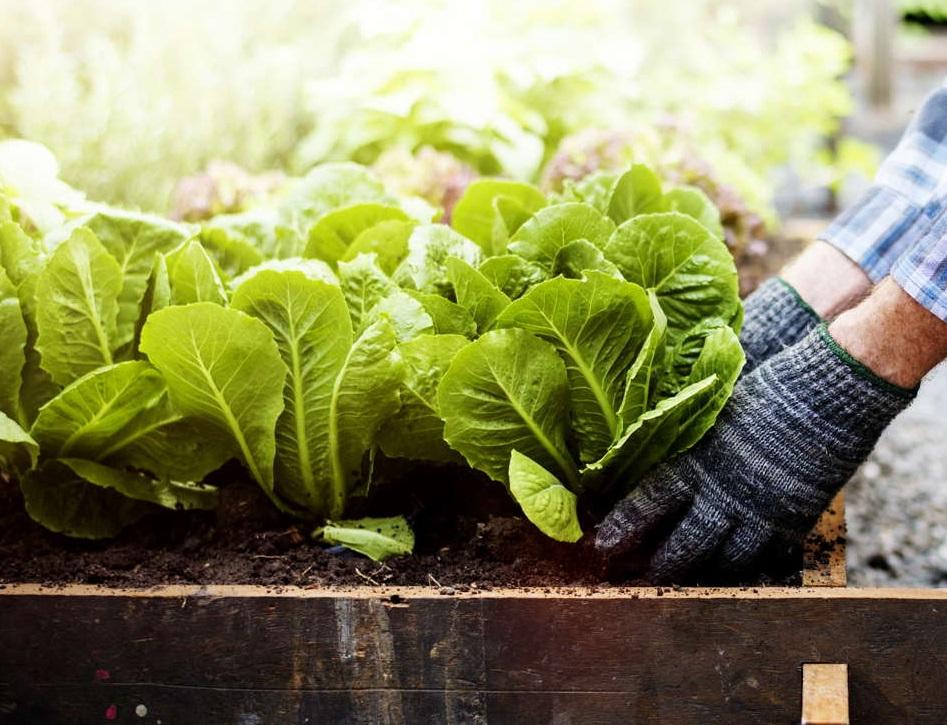 Mann pflanzt Salat