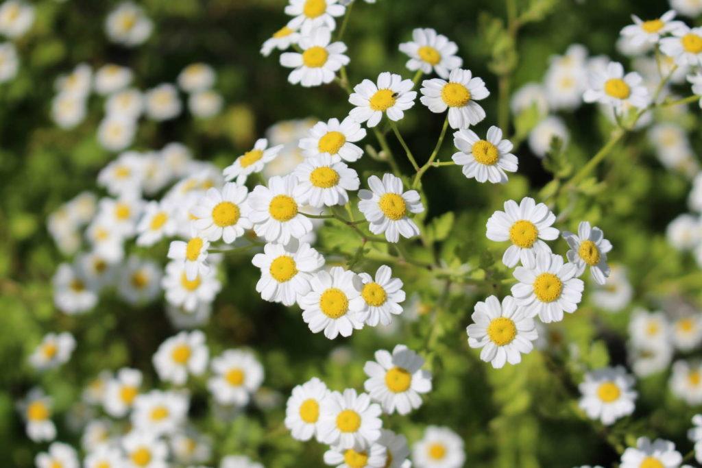 Blühende Mutterkrautpflanze