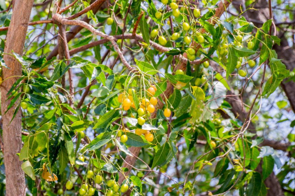 Neem Baum mit gelben Früchten und Samen