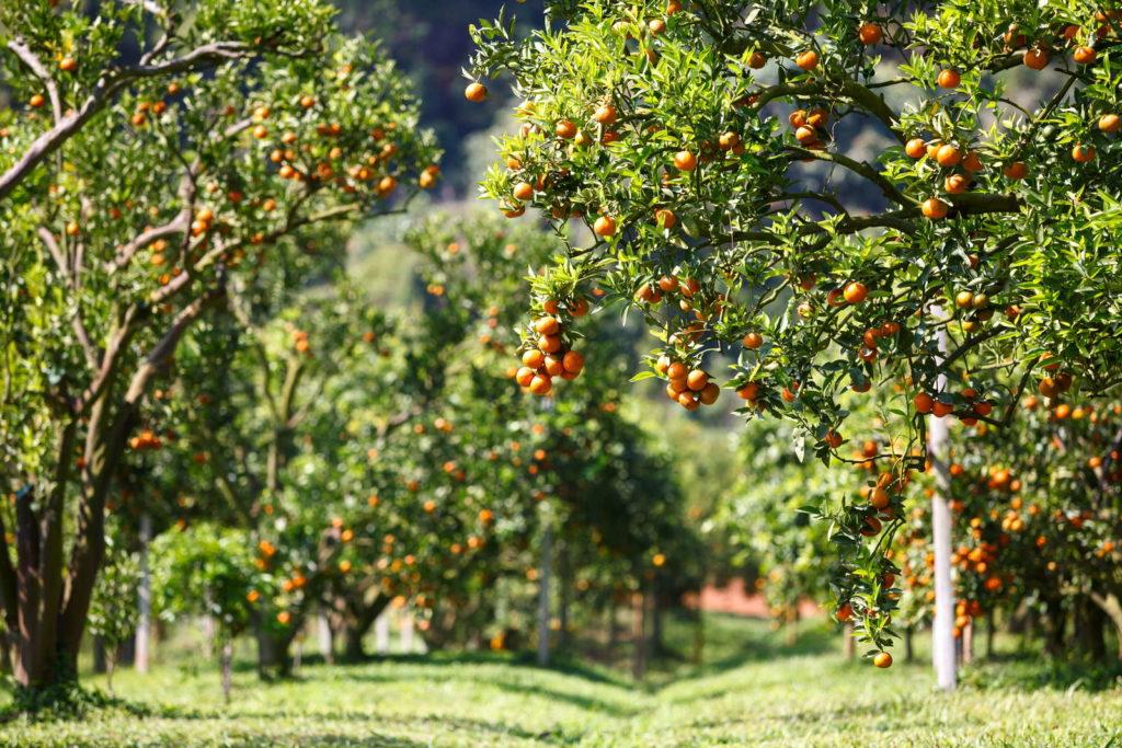 Obstbäume auf Feld in Sonne