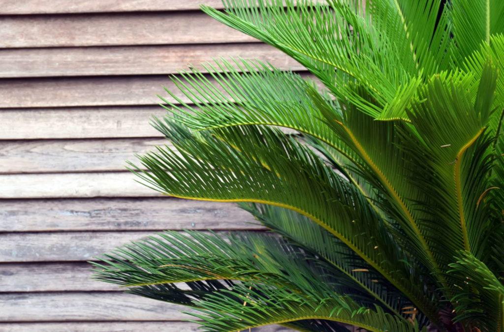 Palmfarn mit Holz im Hintergrund