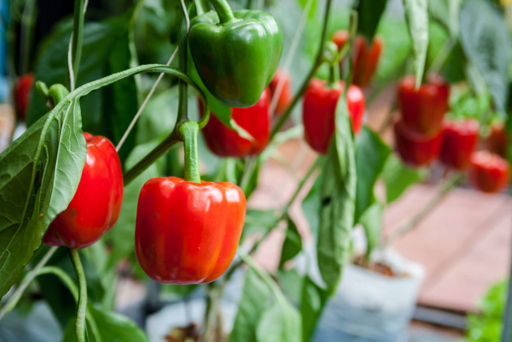 Paprikapflanze mit roten und grünen Paprikas