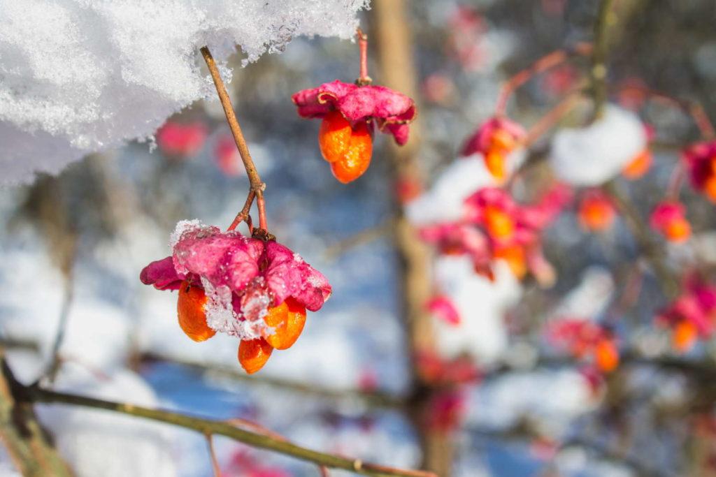 Pfaffenhütchen rosa orange im Schnee
