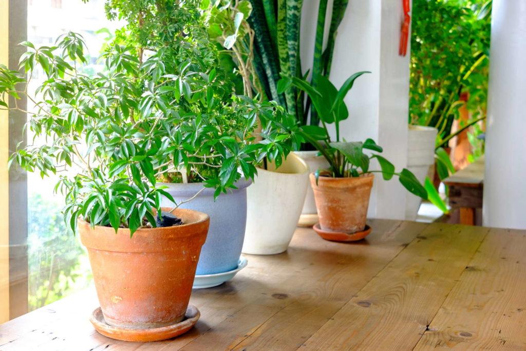 Topfpflanzen überwintern im Haus