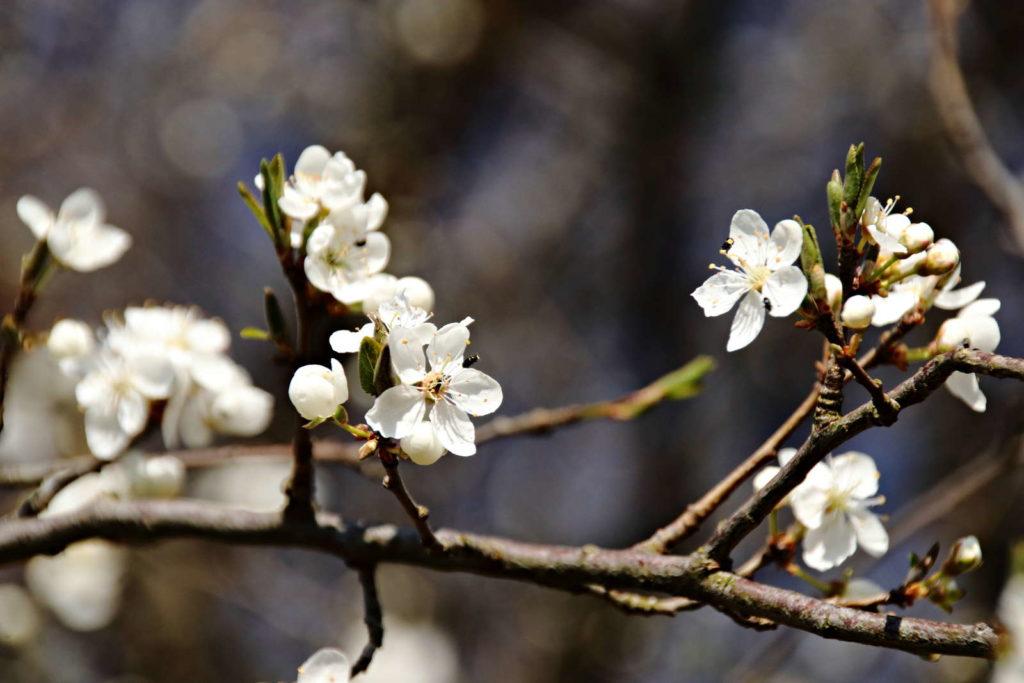 weiße Blüten eines Pflaumenbaums