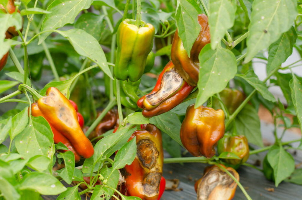 Pythiumbefall bei Paprikapflanze