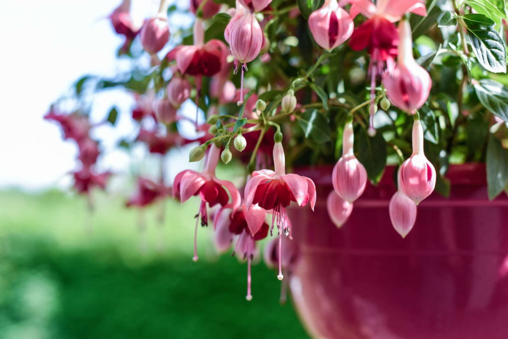 Rosa Fuchsien in einem pinken Topf