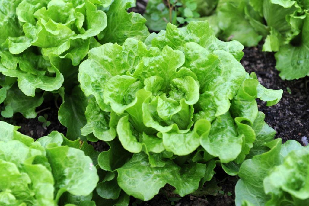 Kopfsalat im Garten