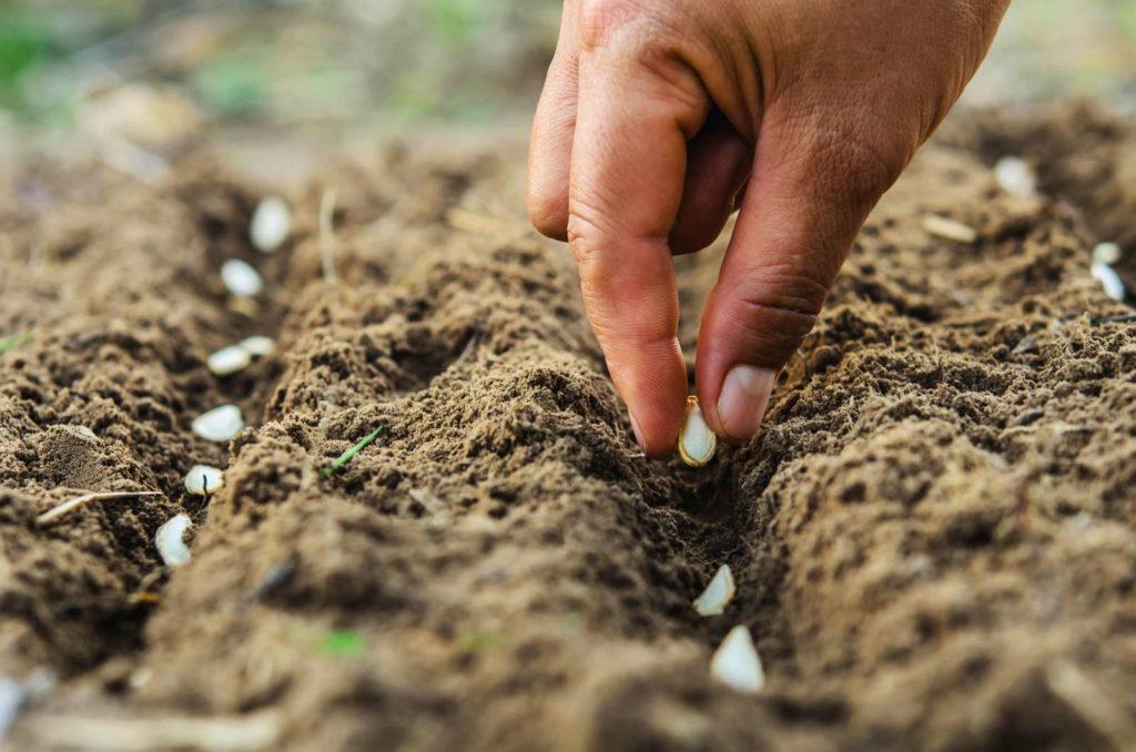 Samen werden per Hand in Erde eingepflanzt