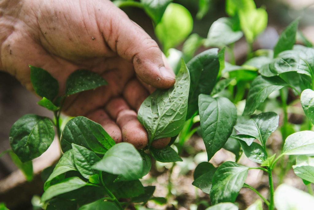 Pflanze wird nach Schädlingen untersucht