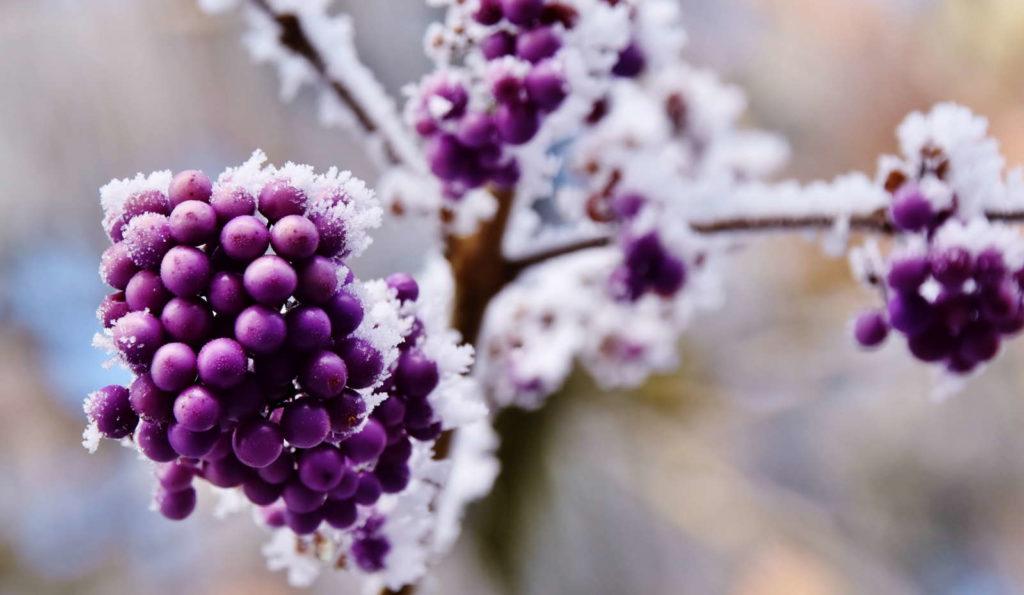 Schönfrucht im Schnee lila Beeren