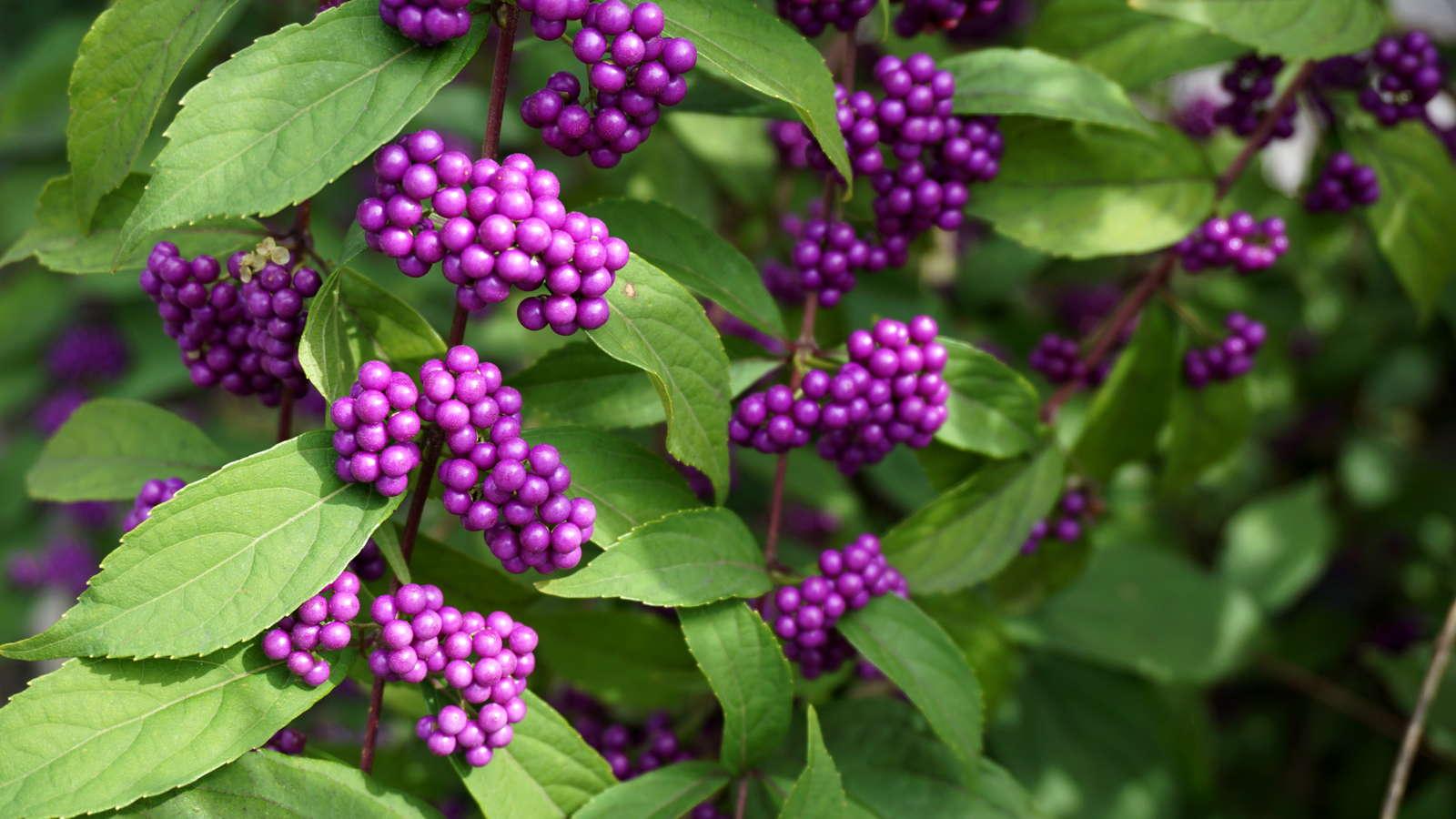 10 Straucher Baume Mit Intensiver Herbstfarbung Plantura