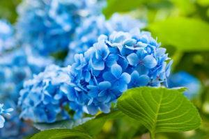 Seitliche Aufnahme Einer Blauen Hortensie Mit Grünem Blatt