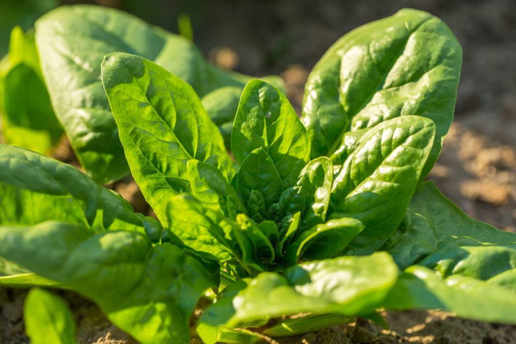 Spinat im Garten
