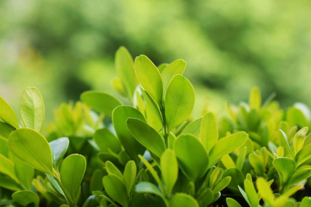 Spitzen von Buchsbaum Zweigen grüner Hintergrund