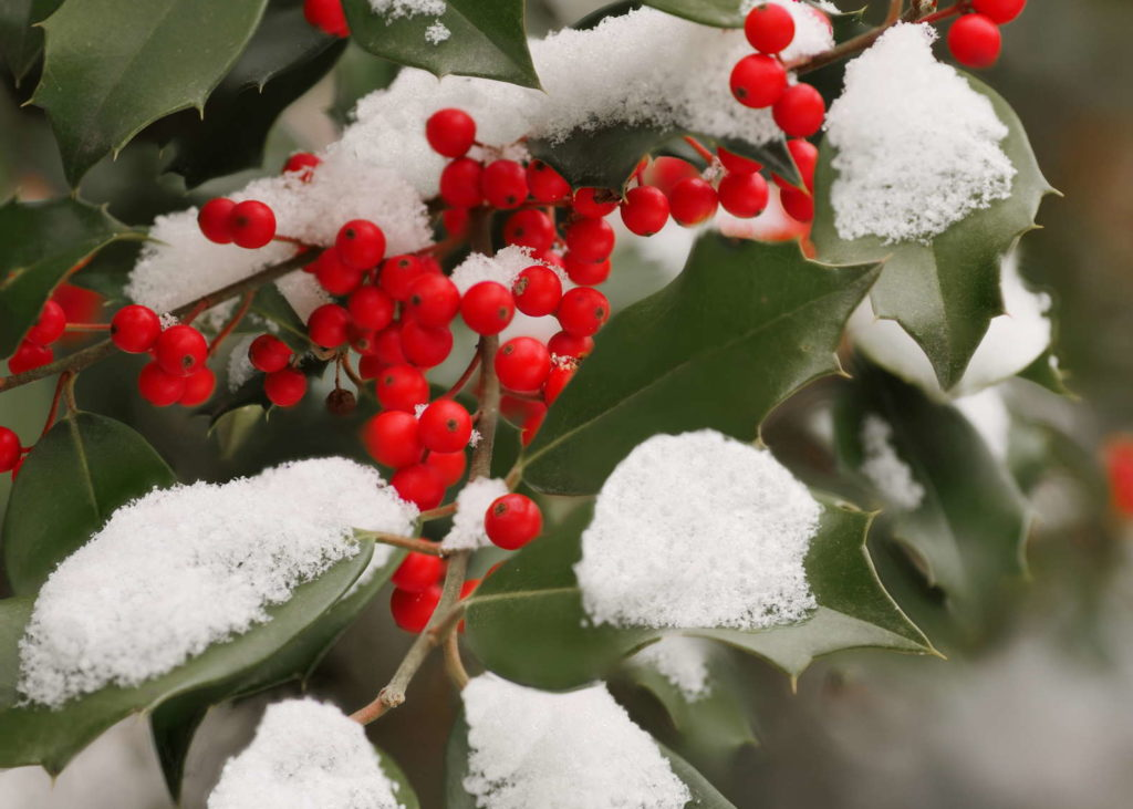 Stechpalme mit roten Beeren und Schnee