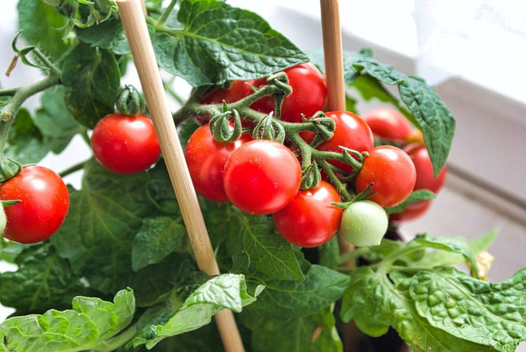 Tomatenpflanze mit roten Tomaten