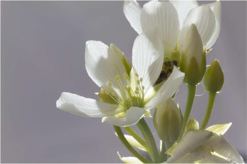 Venusfliegenfalle Blüte mit weißem Hintergrund Nahaufnahme
