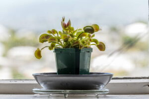 Venusfliegenfalle Im Topf Am Fenster