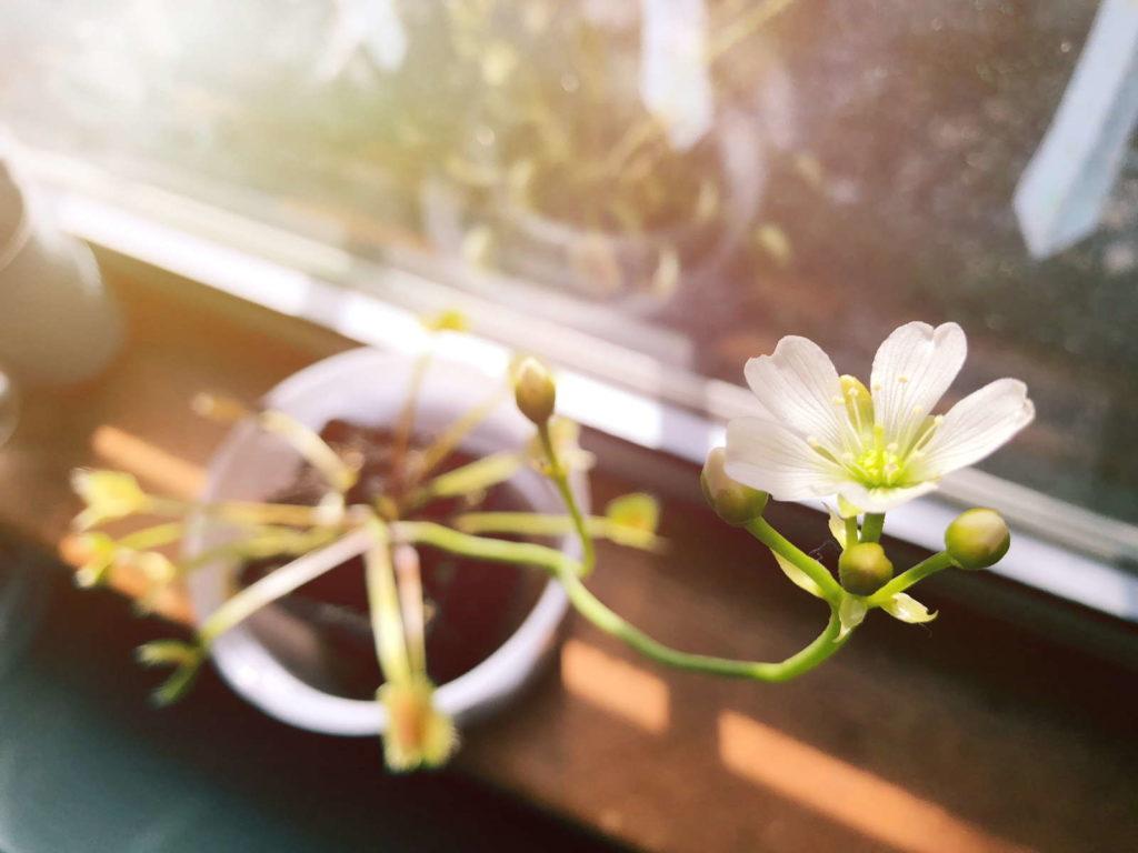 Venusfliegenfalle mit Blüte am Fenster
