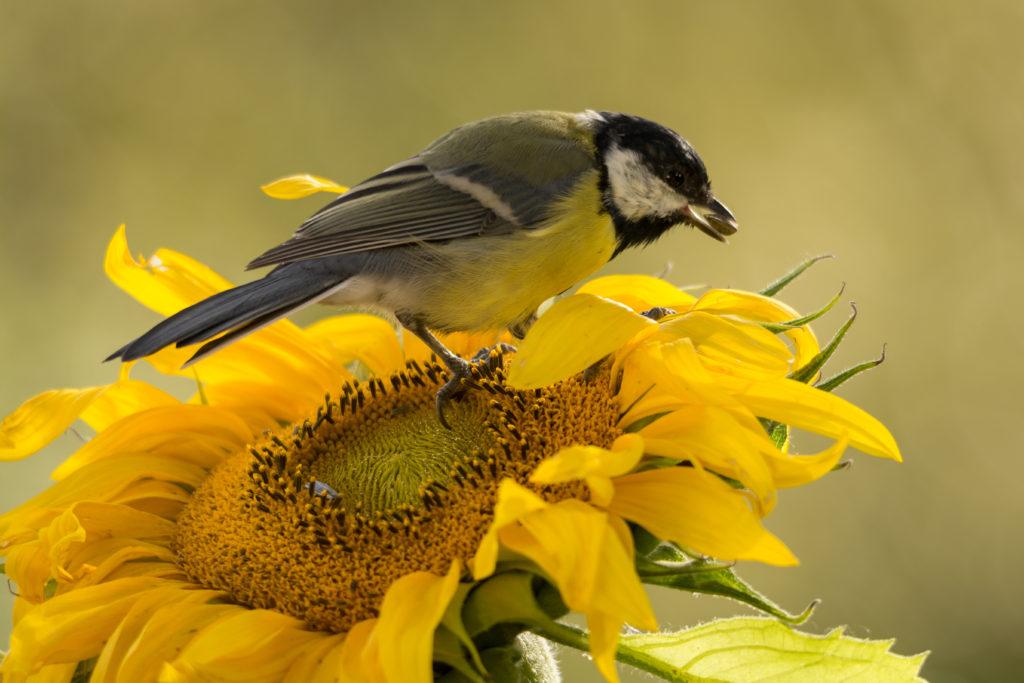Vogel kanbbert an Sonnenblume