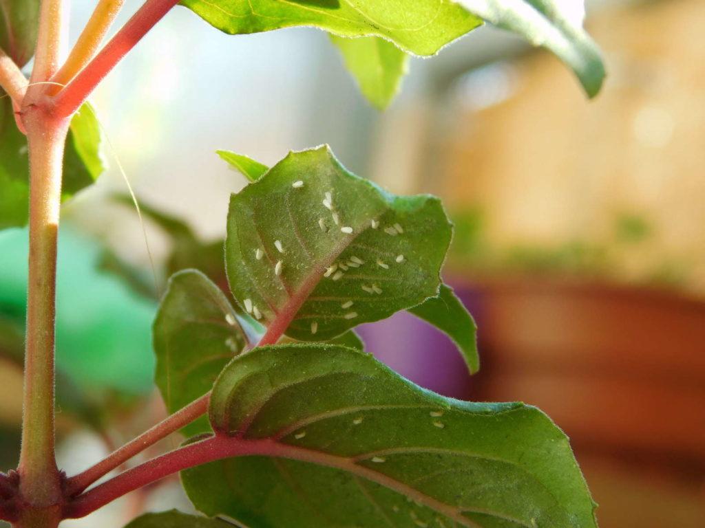 Weiße Fliege befällt Zimmerpflanze Fuchsie)