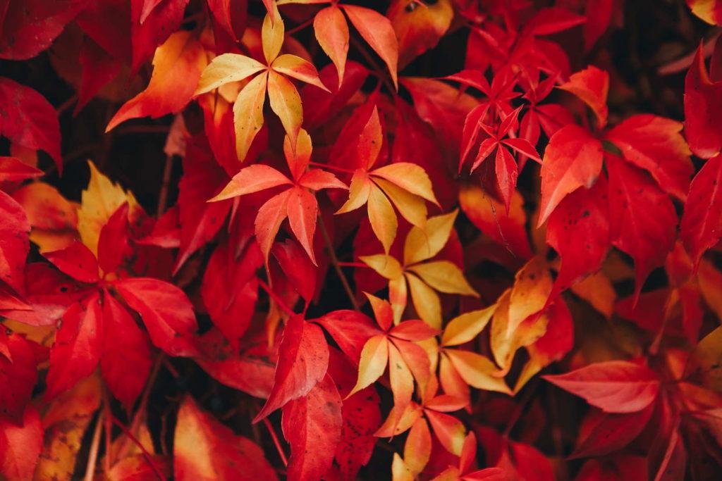 Wilder Wein im Herbst mit roten Blättern