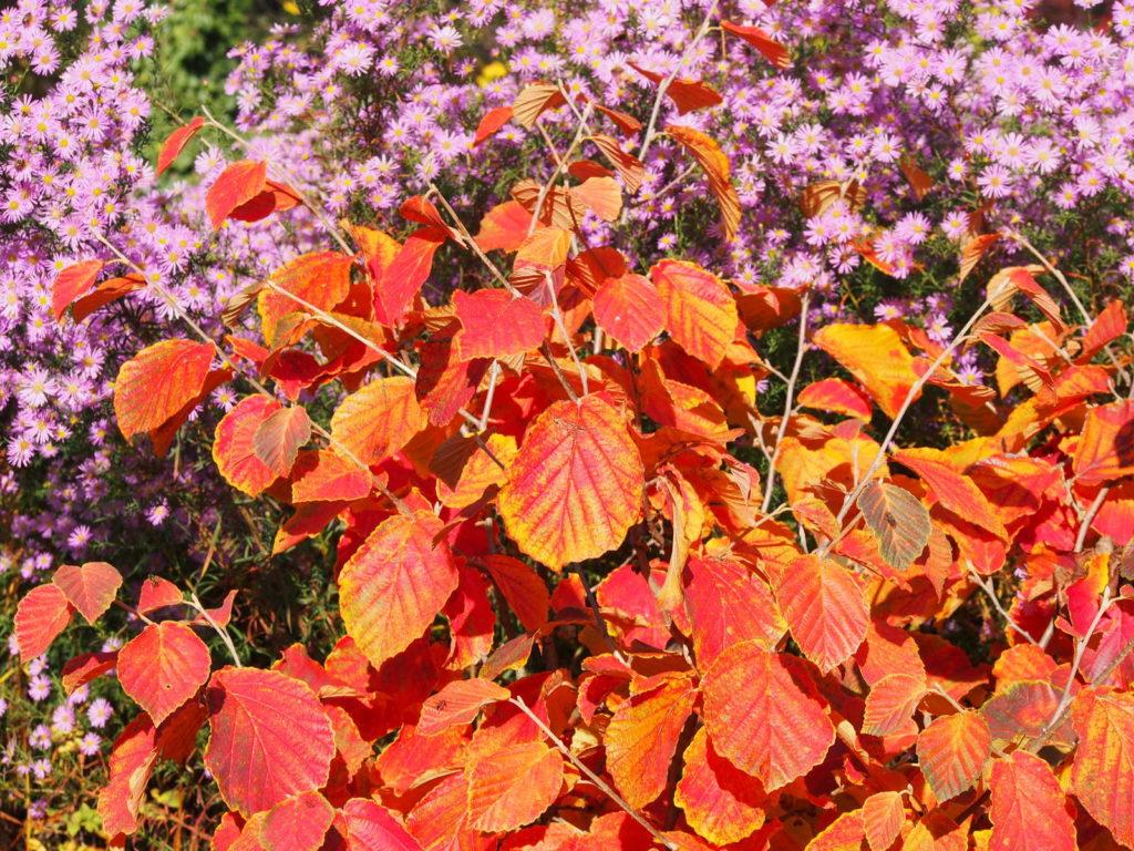 Zaubernuss im Herbst mit orangen Blättern