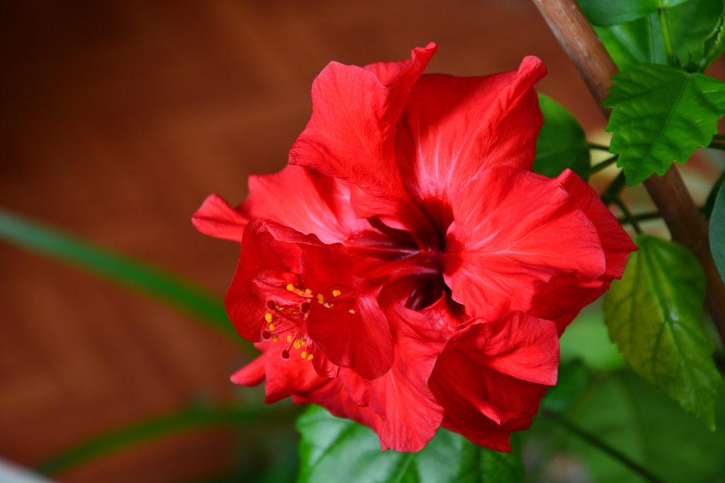 Zimmerhibiskusblüte