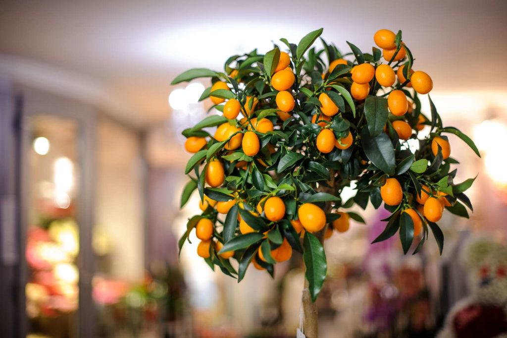 Zitronenbaum im Wohnzimmer