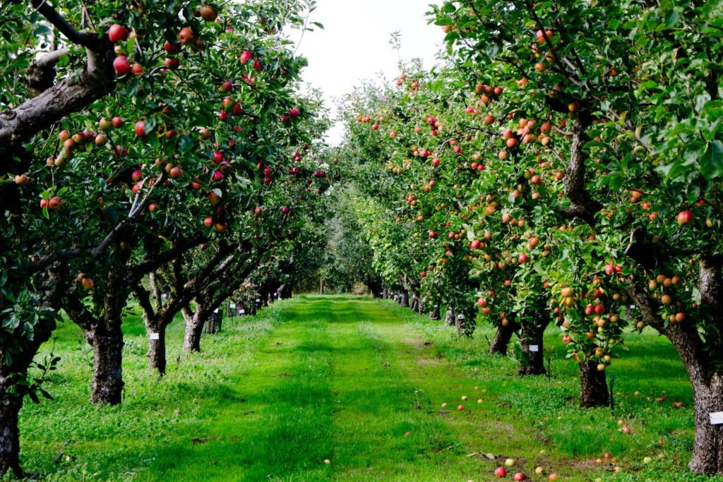 Reihe von Apfelbäumen auf Feld